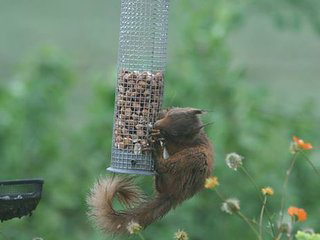 Red Squirrel at Collaig Byre self catering by Loch Awe, Taynuilt Argyll Scotland