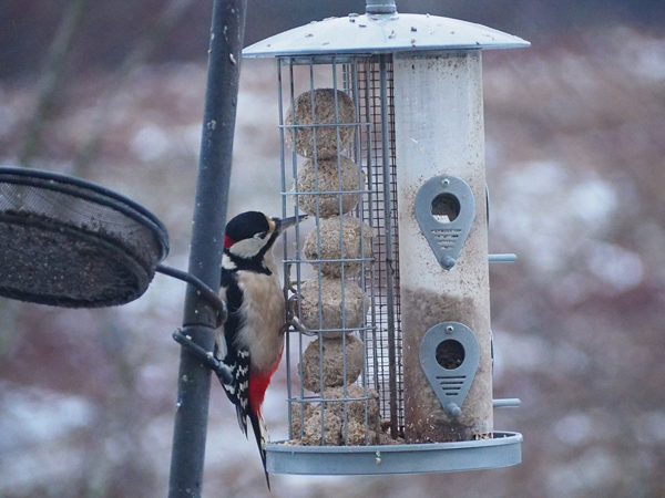 Woodpecker at Collaig Byre